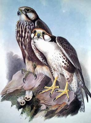 Halcón yággar Falco jugger