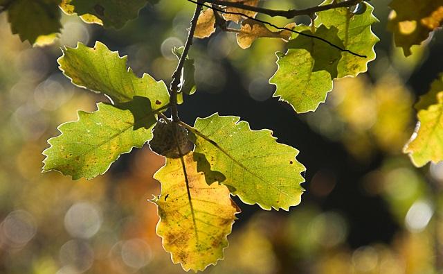 ROBLE CERRIOIDE Quercus x cerrioides