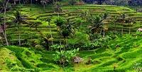 Tegalalang Rice Terrace - Bali Ubud Tour