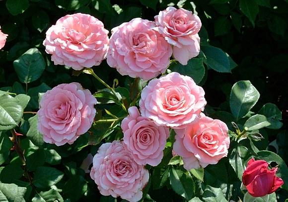 Tickled Pink сорт розы фото купить саженцы Минск питомник