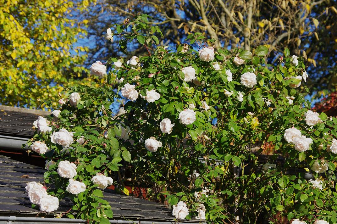 le jardin des couronnes des roses en novembre. Black Bedroom Furniture Sets. Home Design Ideas