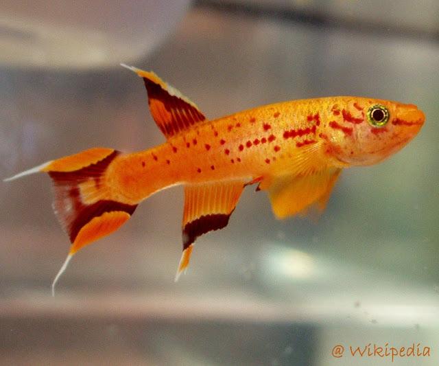 Pesona Orange Ikan The Cape Lopez Lyretail