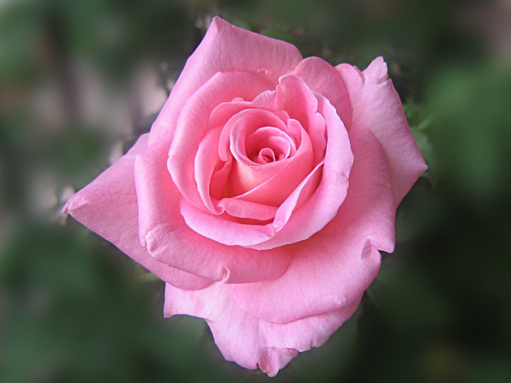 LAP TOP VALLEY: Pink Roses