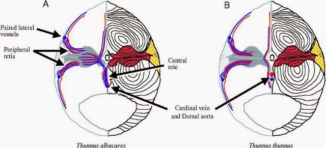 Sistem otot pada pisces