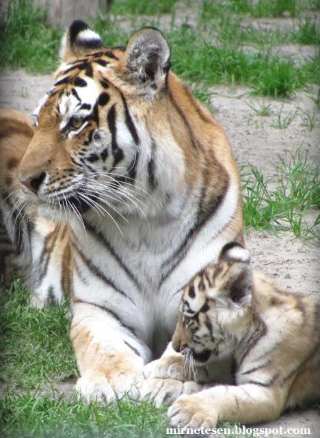 Новосибирский зоопарк: уссурийский тигр