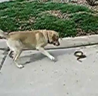 Anjing membunuh ular dalam mimpi