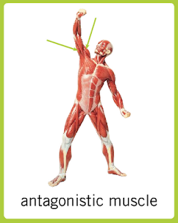 Image Result For Which Muscles Do