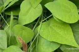 Tanaman Cincau (Mesona spp)