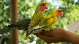 Burung Lovebird - Penjinakan Burung Lovebird Dengan Cara Pemberian Pakan dan Pemitingan Sayap