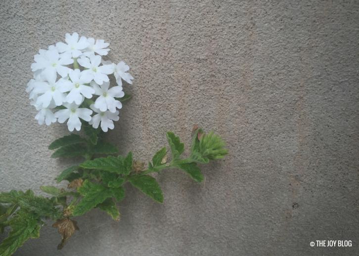Verbena Flowers // WWW.THEJOYBLOG.NET