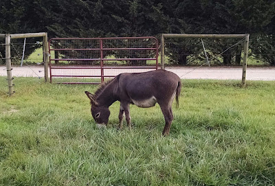 miniature donkey grazing on grass