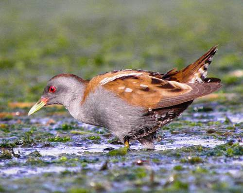 Birds of India - Little crake - Zapornia parva