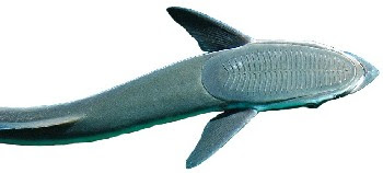 Peixe Rêmora (Remora remora)