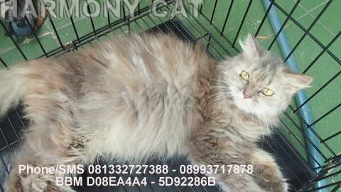 Hamster Dan Kucing Persia Murah Surabaya Jual Kucing