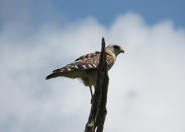 Red-shouldered Hawk - Joe Overstreet Road, Florida