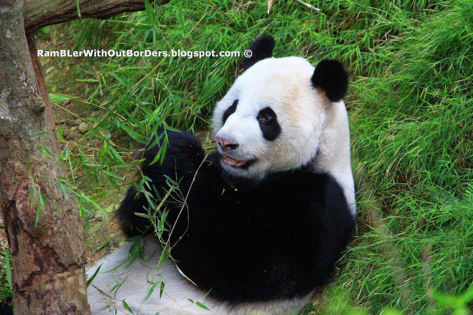 Panda eating bamboo, River Safari, Singapore