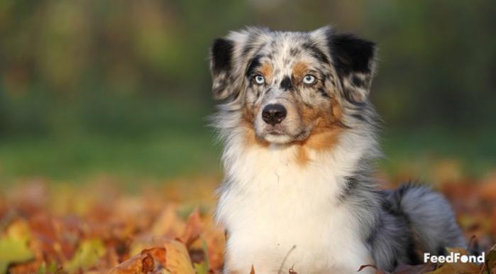 Australian Shepherd Husky Dog Breed