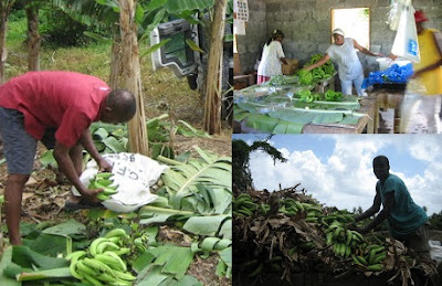 Starting a Plantain Farm