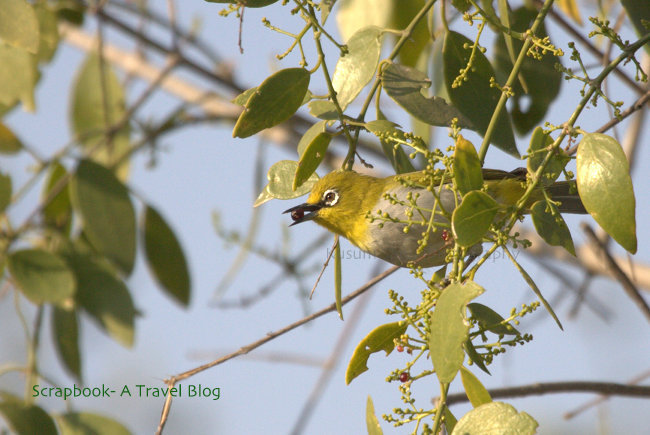 Oriental White Eye at Khijadia Bird Sanctuary Jamnagar Gujarat India