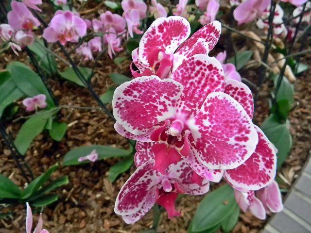 kwiat, nakrapiany, egzotyczny, palmiarnia