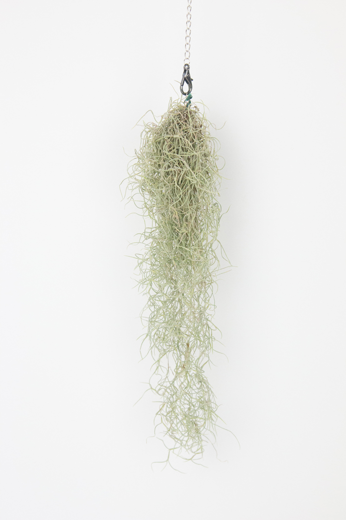 A Plant Everyone Can Grow. How to hang Spanish Moss by @createoften