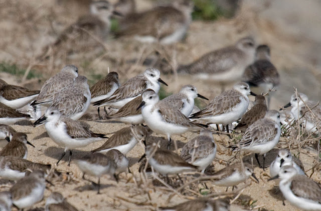 Sanderlings and Western Sandpipers