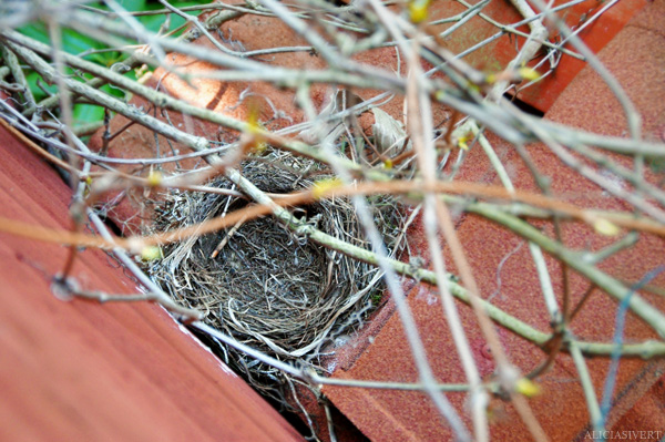 aliciasivert, alicia sivertsson, blackbird, bird, nest, birdnest, bird nest, birds, chick, chicks, nestlings, nestling, squeaker, squeakers, baby bird, baby birds, fågelbo, koltrast, koltrastbo, koltrastungar, fågelungar, fågelunge, unge, ungar, vår, småfågelbefrämjandet