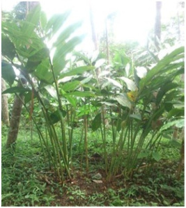 http://tipspetani.blogspot.com/2016/11/syarat-tumbuh-tanaman-kapulaga.html