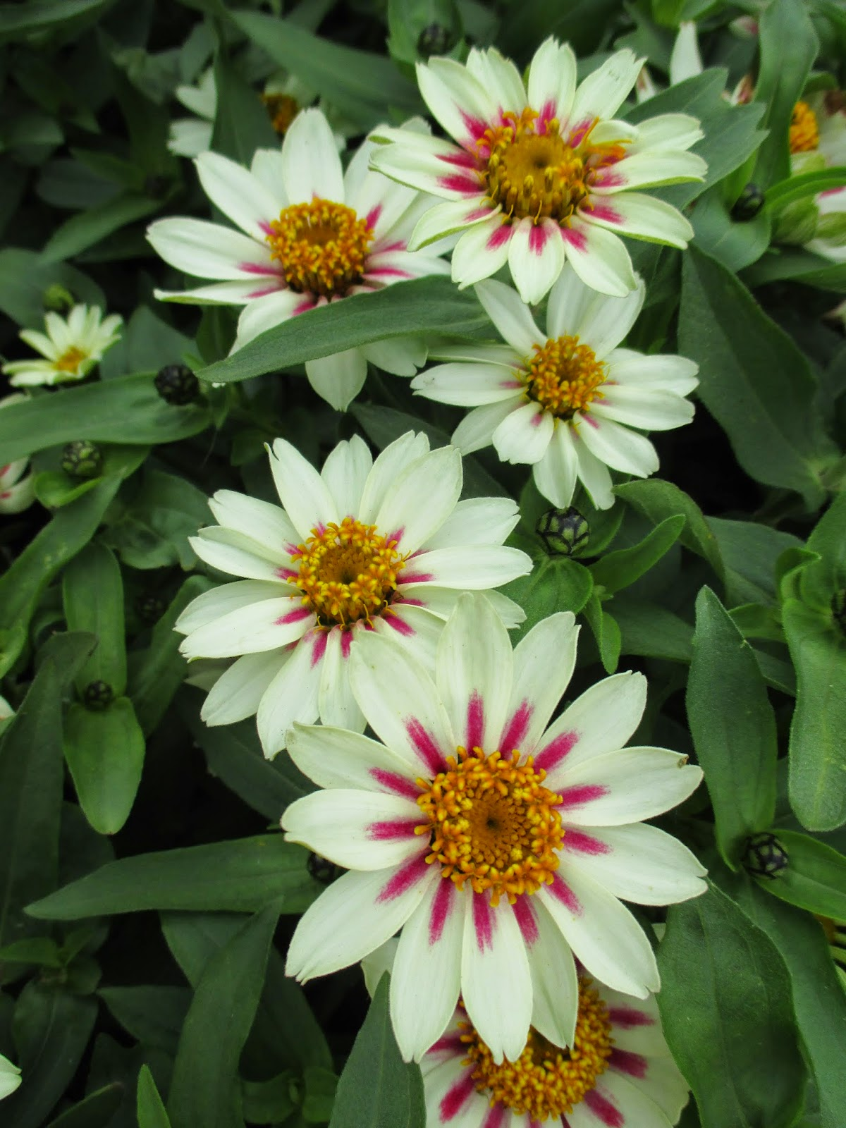 All America Selections Garden 2015 Rotary Botanical