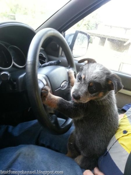 Puppy driver.