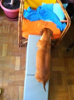 tratamento de hérnia de disco em cães