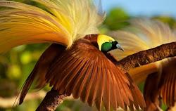 Cenderawasih burung surga