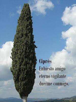 cipres y cielo azul