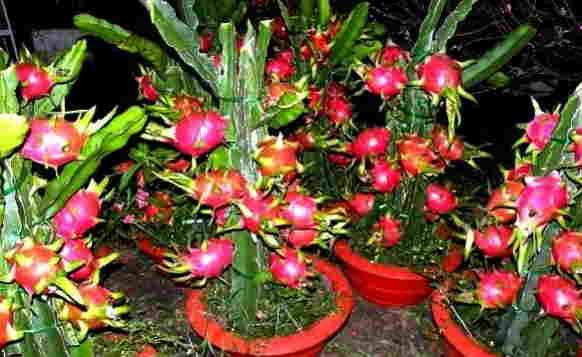 cara menanam buah naga dalam pot