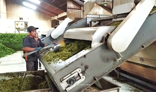 tahap pengolahan teh hijau tambi