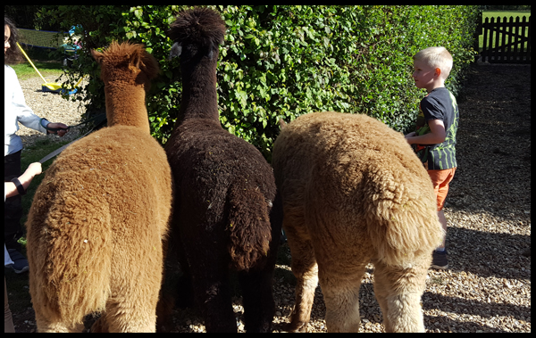 Taking the Alpacas for a stroll around Sandy Balls in the New Forest