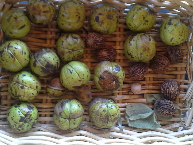 shagbark hickory nuts and wild black walnuts, one pignut
