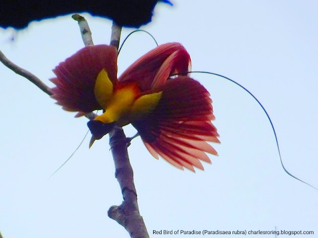 Red Bird of Paradise in Waigeo