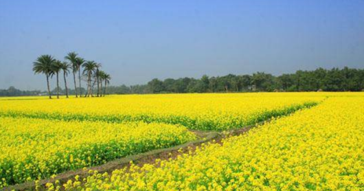 Jhitka Mustard Field The Beautiful Place In Bangladesh