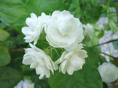 Hoa nhai tay vinhomes gardenia