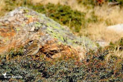 Uno de los muchos bisbitas pratenses (Anthus pratensis) recién aterrizados en el Parque Nacional de Guadarrama.