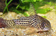 Jenis Ikan Corydoras araguaiaensis