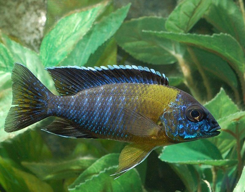 Gambar 5 Ikan cichlid Afrika - Maulana Bicolor Peacock ( Aulonocara stuartgranti )