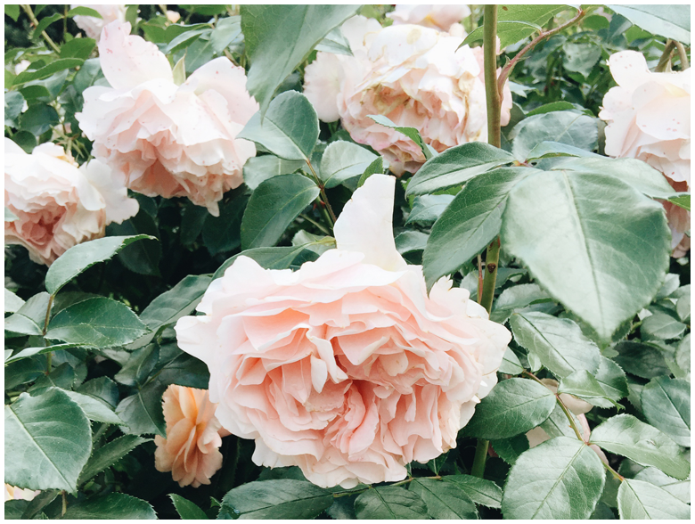 nature,flowers,roses