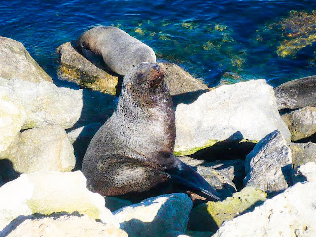 New Zealand Fur Seals