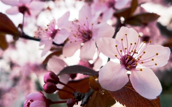 La Folie Des P Tits Pots La Gamme Cerisier Du Japon De The Body Shop