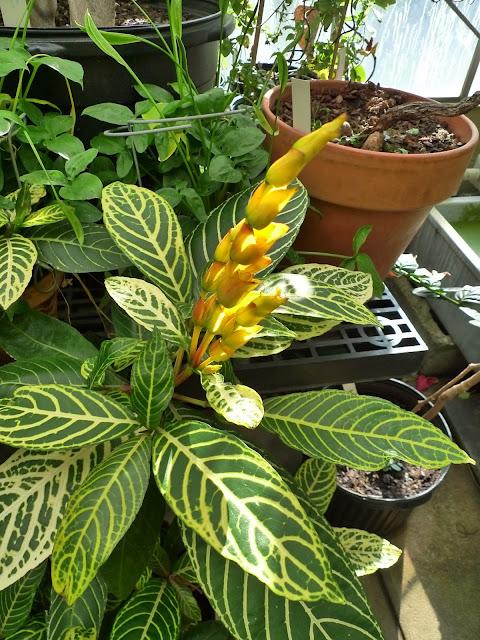SANCHEZIA SPECIOSA (syn. S. nobilis)  Acanthaceae SANCHEZIA plant pic