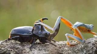 Fotos de rana cabalgando en un escarabajo