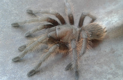 Large grey tarantula