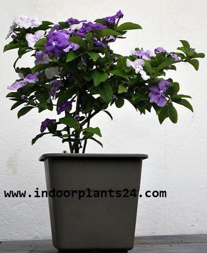 Solanaceae indoor house plant